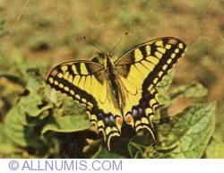 Image #1 of Natural History Museum of Sibiu - Scarce Swallowtail