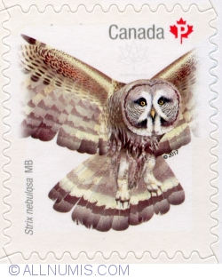 P 2017 Birds of Canada - Great gray owl, Strix nebulosa MB