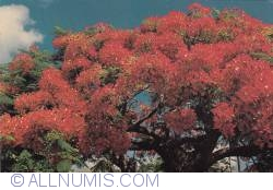 Image #1 of Bermuda - Royal Poinciana