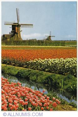 Image #1 of Kinderdijk - Windmills and Tulips (1978)
