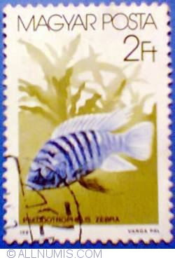 Imaginea #1 a 2 ft 1987 - Pseudotropheus zebra