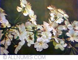 Image #1 of Cherry flowers