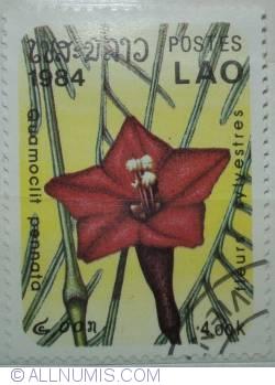 Image #1 of 4.00 kip1984 Quamoclit pennata