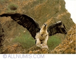 Image #1 of Lammergeyer, Bearded vulture (Gypaetus barbatus)