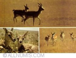 Image #1 of Mongolian gazelle (Procapra gutturosa)