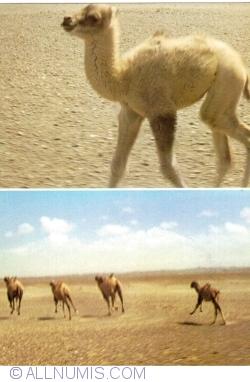 Image #1 of Wild Camel (Khavtgai)