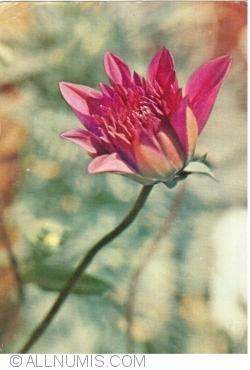 Image #1 of Dahlia Hybrida (1967)