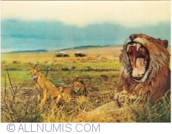 Image #1 of Lions