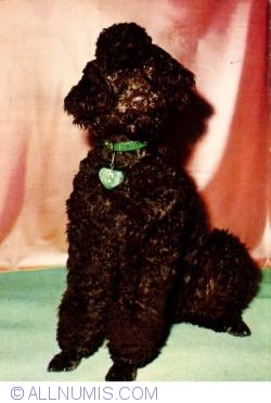 Image #1 of Black poodle - KRUGER 900.155