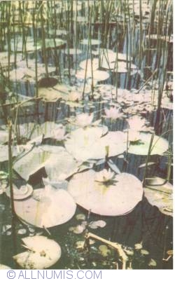Image #2 of Danube Delta - Water lilies