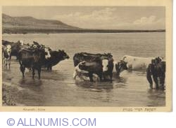 Image #2 of Kinereth-Cows in the Dead Sea