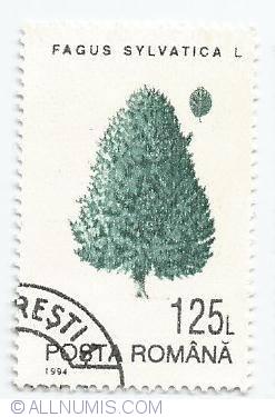 125 lei - Fagus sylvatica