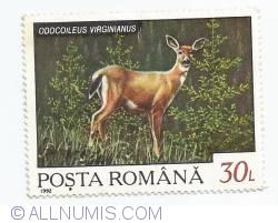 30 Lei - Odocoileus Virginianus