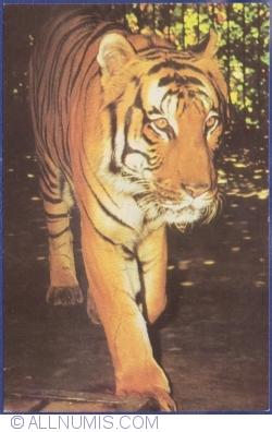 Image #1 of Tiger (Panthera Tigris)