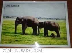 Image #1 of The Asian Elephant (Elephas maximus) in Minneriya National Park