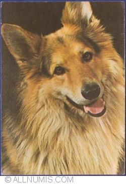 Image #1 of German Shepherd