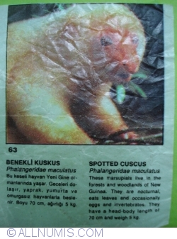 Image #1 of 63 - Spotted cuscus (Phalangeridae maculatus)