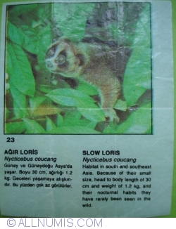 Image #1 of 23 - Slow Loris (Nycticebus coucang)