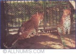 Image #1 of Leopard (Panthera Pardus)