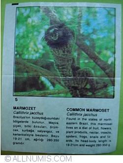 Image #1 of 5 - Marmosetă comună (Callithrix jacchus)