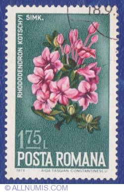 1.75 Lei - Azalea - Rhododendron kotschyi simk.