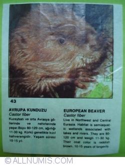 Image #1 of 43 - European Beaver (castor fiber)