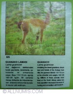 Image #1 of 65 - Guanaco (Lama guanicoe)