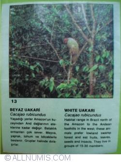 Image #1 of 13 - White Uakari (Cacajao rubicundus)