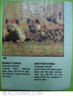 49 - Spotted hyena (Crocuta crocuta)