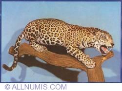 Image #1 of Jaguar (Panthera onca) in Peru - Bucharest - Natural History Museum Grigore Antipa