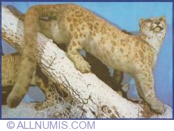 Image #1 of Pantera or snow leopard (Uncia uncia) from Asia - Museum of Natural History Grigore Antipa