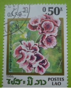 Image #1 of 0.50 Kip - pelargonium grandiflorum
