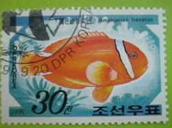 Imaginea #1 a 30 Chon - Amphiprion frenatus
