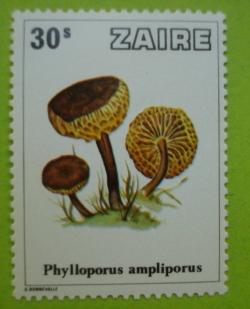 30 Sengi - Phylloporus Ampliorus