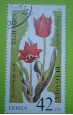 Image #1 of 42 Stotinki - Tulipa splendens