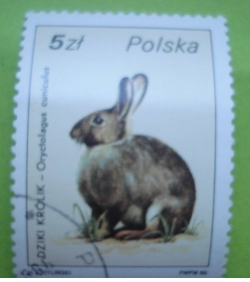 Image #1 of 5 Zlotych - Oryctolagus cuniculus