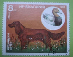 Image #1 of 8 Stotinki - Irish Setter and the red duck
