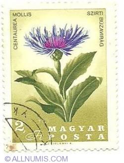 Imaginea #1 a 2 Ft - Centeurea Mollis Szirti Buzavirag