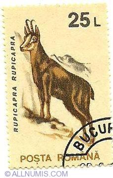 Imaginea #1 a 25 lei - Rupicapra Rupicapra - Capra Neagra