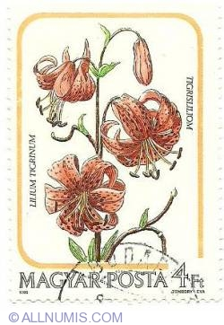 Imaginea #1 a 4 Ft 1985 - Lilium Tigrinum Tigrisliliom