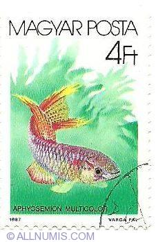 Imaginea #1 a 4 Ft 1987 - Aphyosemion multicolor