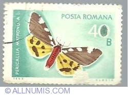 40 Bani - Pericallia matronula