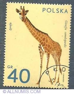 40 gr-The giraffe -1972