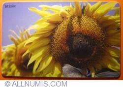 Imaginea #2 a Floarea-soarelui