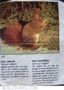 11 - Red Squirrel (Sciurus vulgaris)