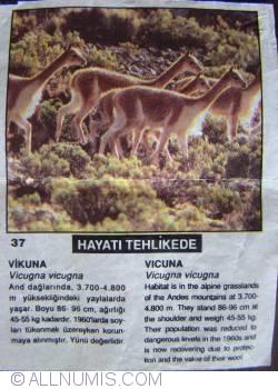 37 - Vicuna  (Vicugna vicugna)