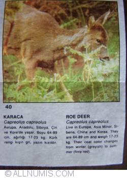 Image #1 of 40 - Roe Deer (Capreolus capreolus)
