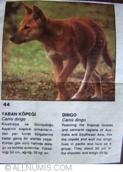 44 - Dingo (Canis dingo)