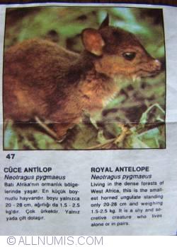 47 - Royal Antelope (Neotragus pygmaeus)