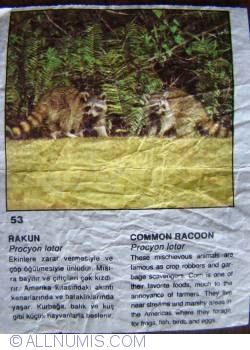 53 - Common Racoon (Procyon lotor)